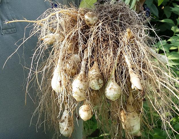 sunspud root